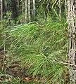 Pinus strobus foliage.jpg