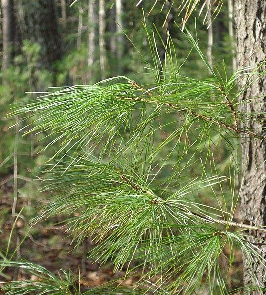 File:Pinus strobus foliage.jpg
