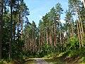 Pinus sylvestris forest Gietrzwałd.JPG