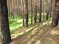 Pinus sylvestris wood 2.JPG