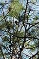 Pinus yunnanensis branches.jpg