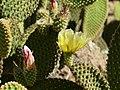 Pinya de Rosa, flor de opuncia.jpg
