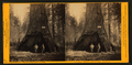 Pioneer's Cabin, 318 ft. high, 75 ft. cir. California, - Mammoth Grove, by Muybridge, Eadweard, 1830-1904.png