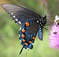 Pipevine Swallowtail (2659437046).jpg