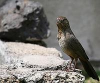 Pipilo fuscus