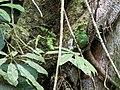 Pipreola chlorolepidota - Fiery-throated Fruiteater - female.jpg