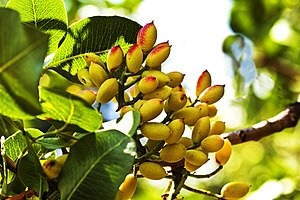 Pistachio - Pistacia vera (Kerman cultivar) fruits ripening