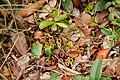 Pitcher plants - Bako National Park - Sarawak - Borneo - Malaysia - panoramio.jpg