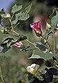 PkGossypiumHerbaceum2.jpg