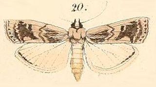 <i>Euzophera</i> genus of insects