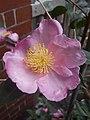 Plantation Pink St Kilda 2.jpg