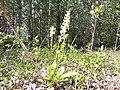 Platanthera bifolia01.jpg