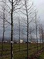 Platanus acerifolia1-1-.jpg