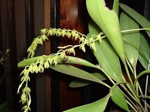 Pleurothallis racemiflora