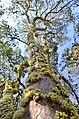 Plinia cauliflora flower 02.jpg