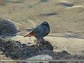 Plumbeous Water Redstart (Rhyacornis fuliginosa) (15894793045).jpg