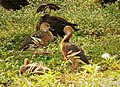 Plumed Whistling Duck. Dendrocygna eytoni (48630004977).jpg
