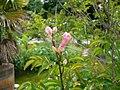 Podranea ricasoliana - flower buds.jpg