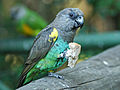 Poicephalus meyeri -Birds of Eden, Western Cape, South Africa-8.jpg