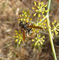 Polistes sp. Polistinae. Vespidae. - Flickr - gailhampshire.jpg