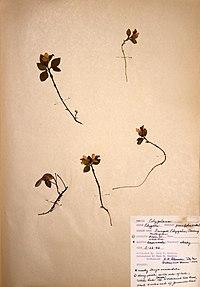 Polygaloides paucifolia BW-1966-0522-0972.jpg