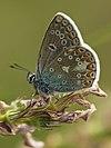 Polyommatus thersites LC0292.jpg
