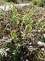 Polystichum acrostichoides 3.jpg