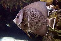 Pomacanthus arcuatus, Oceanográfico.jpg