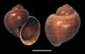 Pomacea poeyana shell.png