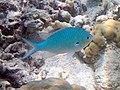Pomacentrus pavo - Blue damsel (11006793993).jpg