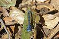 Pond Damsel - Coenagrionidae - Flickr - GregTheBusker.jpg