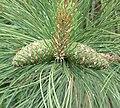 Ponderosa pine cones chalco.jpg