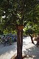 Pongamia pinnata-Rajasthan.jpg