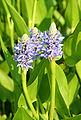 Pontederia lanceolata JPG01.jpg