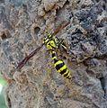 Potter Wasp. Phimenes flavopictum. Eumenidae. - Flickr - gailhampshire.jpg