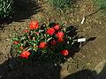 Praha, Troja, Botanická zahrada, Tulipán zahradní.JPG