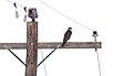 Prairie Falcon (Falco mexicanus) (6814235760).jpg