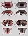 Primocerus (10.3897-zookeys.855.33013) Figure 10.jpg