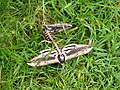 Privet Hawk moths mating - geograph.org.uk - 1013637.jpg