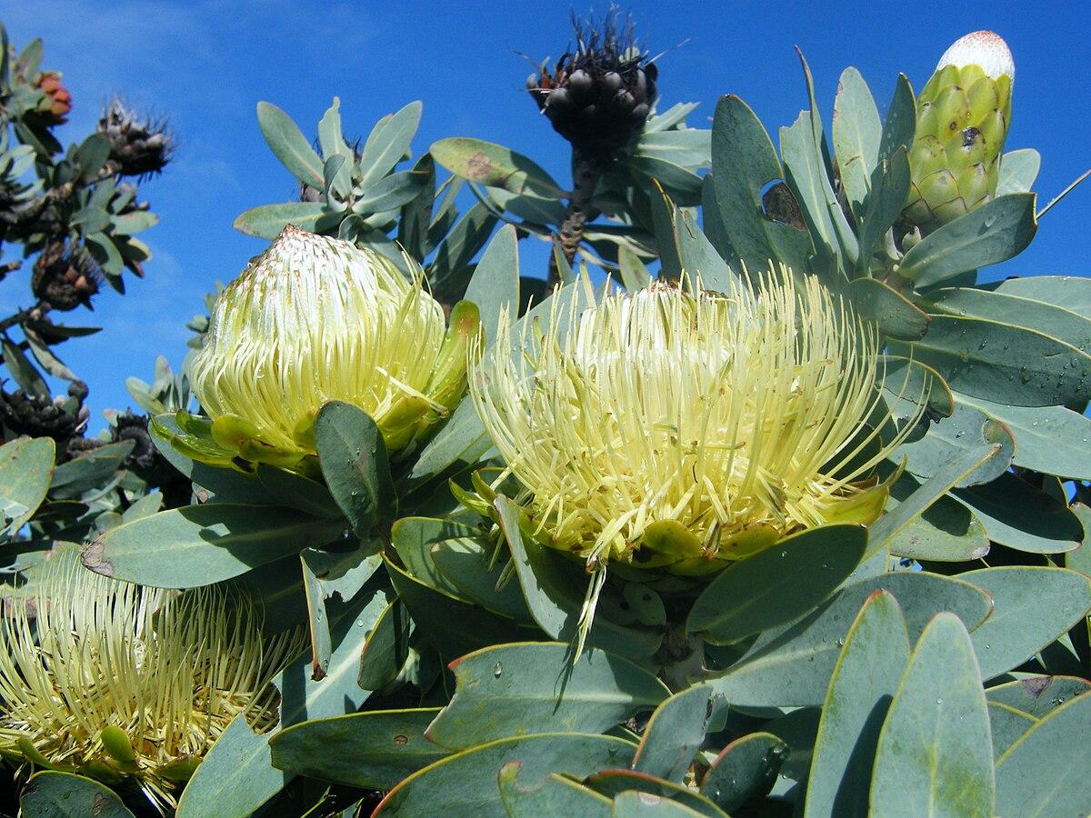 Protea Nitida Wikipedia