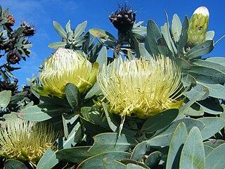 <i>Protea nitida</i> Species of tree