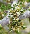 Prunus fasciculata 11.jpg