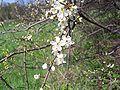Prunus spinosa a1.jpg