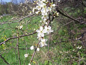 Description de l'image  Image:Prunus spinosa a1.jpg .
