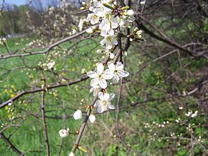 Prunus spinosa a1