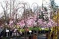 Prunus x subhirtella Pendula Plena Rosea 10zz.jpg