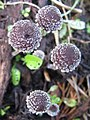 Psathyrella vinosofulva P.D. Orton 187745.jpg