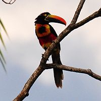 Pteroglossus frantzii -Puntarenas, Costa Rica-8n-4c