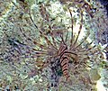 Pterois volitans (red lionfish) (San Salvador Island, Bahamas) 2 (15994823008).jpg