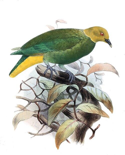 500px ptilinopus layardi